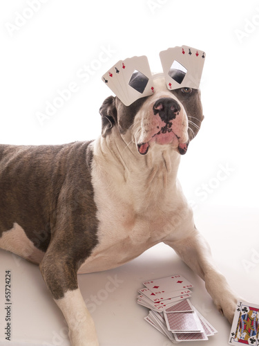 Poster american staffordshire terrier with playing cards