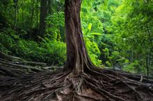 Stare drzewo z wielkimi korzeniami w lesie zielony dżungli