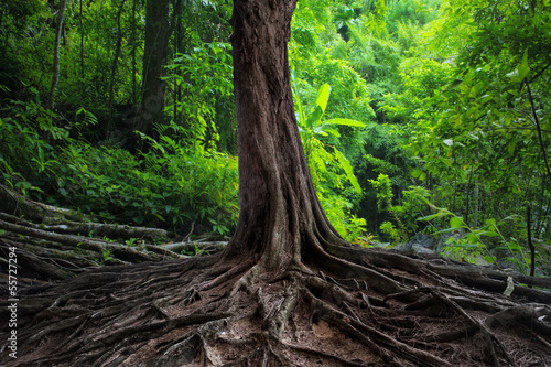stary-drzewo-z-duzymi-korzeniami-w-zielonym-dzungla-lesie