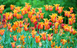 tulips in bloom spring background