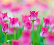 Spring flowers background. Beautiful tulips bloom