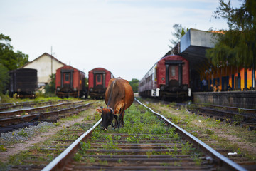 Cow in train station