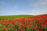 View of a poppy field