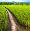 Farm of rice with pathway