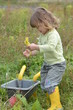 haricots du jardin