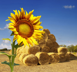 Haystacks on the field. sunflower