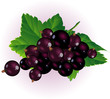 Black currant. Vector.