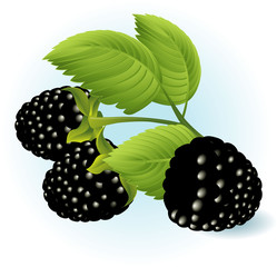Blackberry. Vector.
