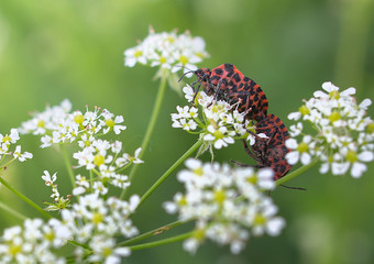 Graphosoma lineatum, grafozoma striped