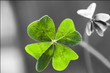 canvas print picture - Four Leaf Clover