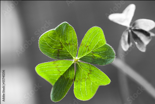 canvas print picture Four Leaf Clover