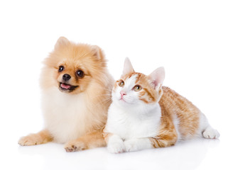 orange cat and spitz dog together. looking up. isolated on white
