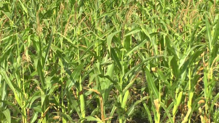 Field of a corn