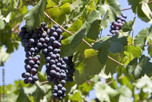 Black Grape Bunch