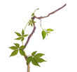 Dry branch and vine