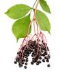 Zweig mit Holunderbeeren