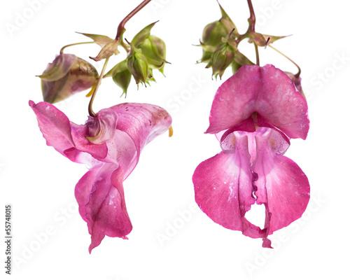 Drüsiges Springkraut - Indisches Springkraut (Impatiens glandul