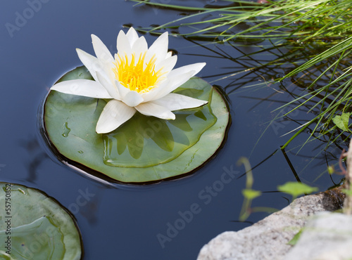 In de dag Lotusbloem Water lily