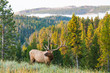 Morning Elk - 55751453