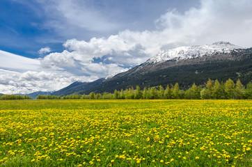 Alpine field of Hawkbits