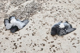 dead pigeons on the ground