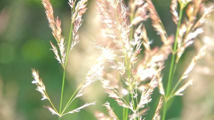 Высокая трава на ветру