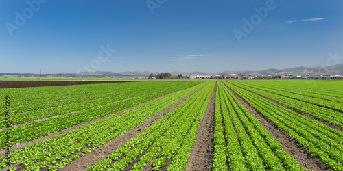 Lettuce Field Panorama