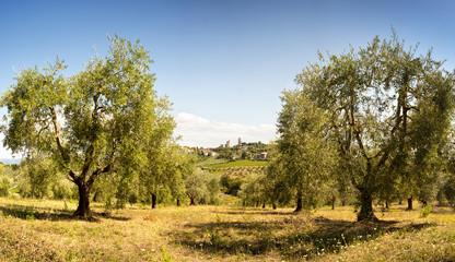 Tuscan olive grove - San Giminiano