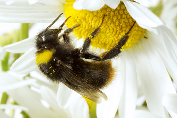 Bumble-bee (Bombus) auf Blume, Nahaufnahme