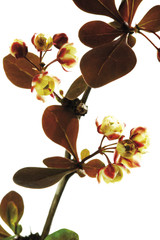 Blüten der Berberitze (Berberis vulgaris), Nahaufnahme