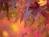 Brightly colored maple leaves during autumn