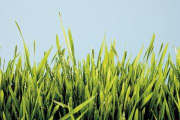 Gras mit Wassertropfen, Nahaufnahme
