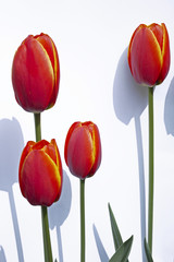Rote Tulpen (Tulipa gesneriana)