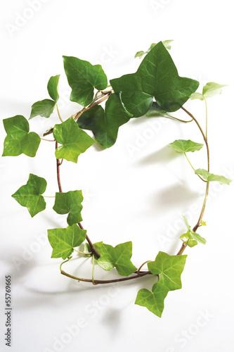 Efeu Blätter, Hedera helix