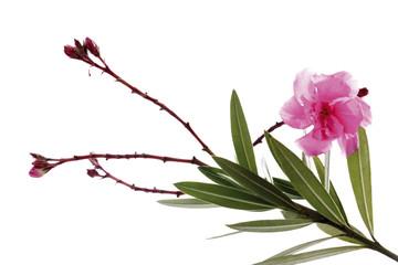 Oleander Blume, Nahaufnahme