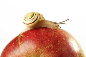 Schnecke auf Apfel, Nahaufnahme