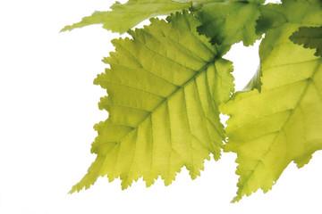 Ulme, Blätter (Ulmus Americana) vor weißem Hintergrund, Nahaufnahme