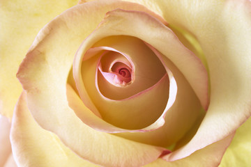 Gelbe Rose, Nahaufnahme