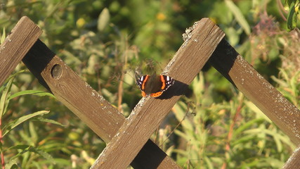 Red Admiral Butterfly on a wooden fence.