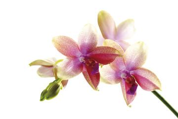 Orchideen, Nahaufnahme