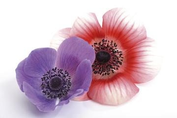 Anemonen, Anemone coronaria