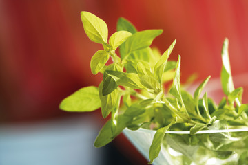 Wilder Majoran, Oregano Gold-, Oreganum vulgare