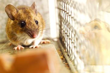 Maus in einem Käfig