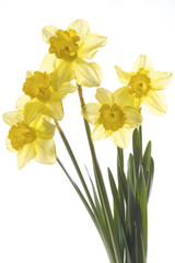 Gelbe Narzissen (Narcissus pseudonarcissus), Nahaufnahme