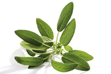 Salbei, Salvia officinalis