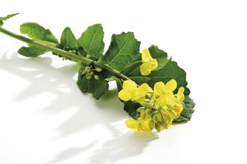Raps blüht, (Brassica napus), Nahaufnahme