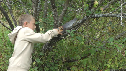 Boy saws off an apple-tree branch.