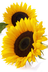 Zwei Sonnenblumen (Helianthus annuus), Nahaufnahme