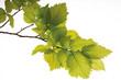 Junge Blätter, Ulme (Ulmus), Nahaufnahme
