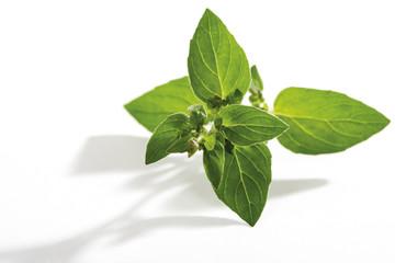 Oregano, oreganum vulgare
